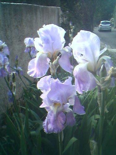 Purple Iris of Provence