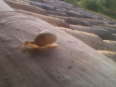 Snail Aspersa Helix on the Rooftop,Provence