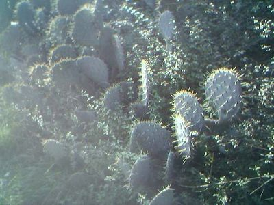Nopal in PROVENCE