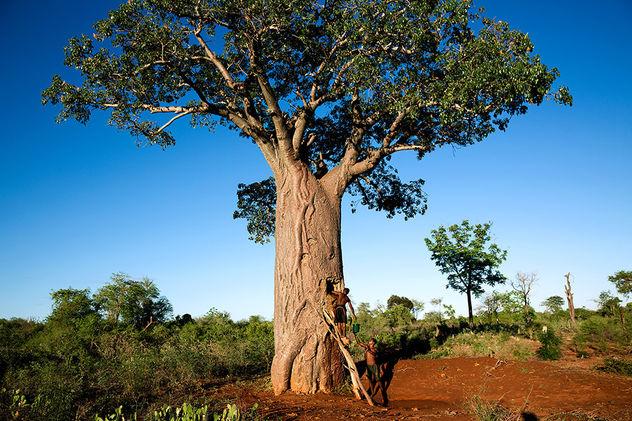 "EDITION LAMMERHUBER presents Pascal Maitres ""BAOBAB – Der Zauberbaum – L´arbre magique – The magic tree """