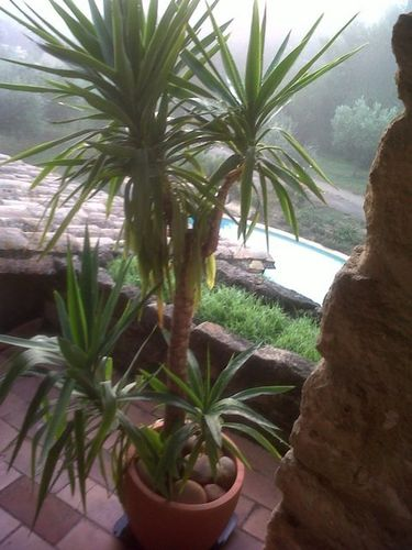 Yucca Elephantis in Provence