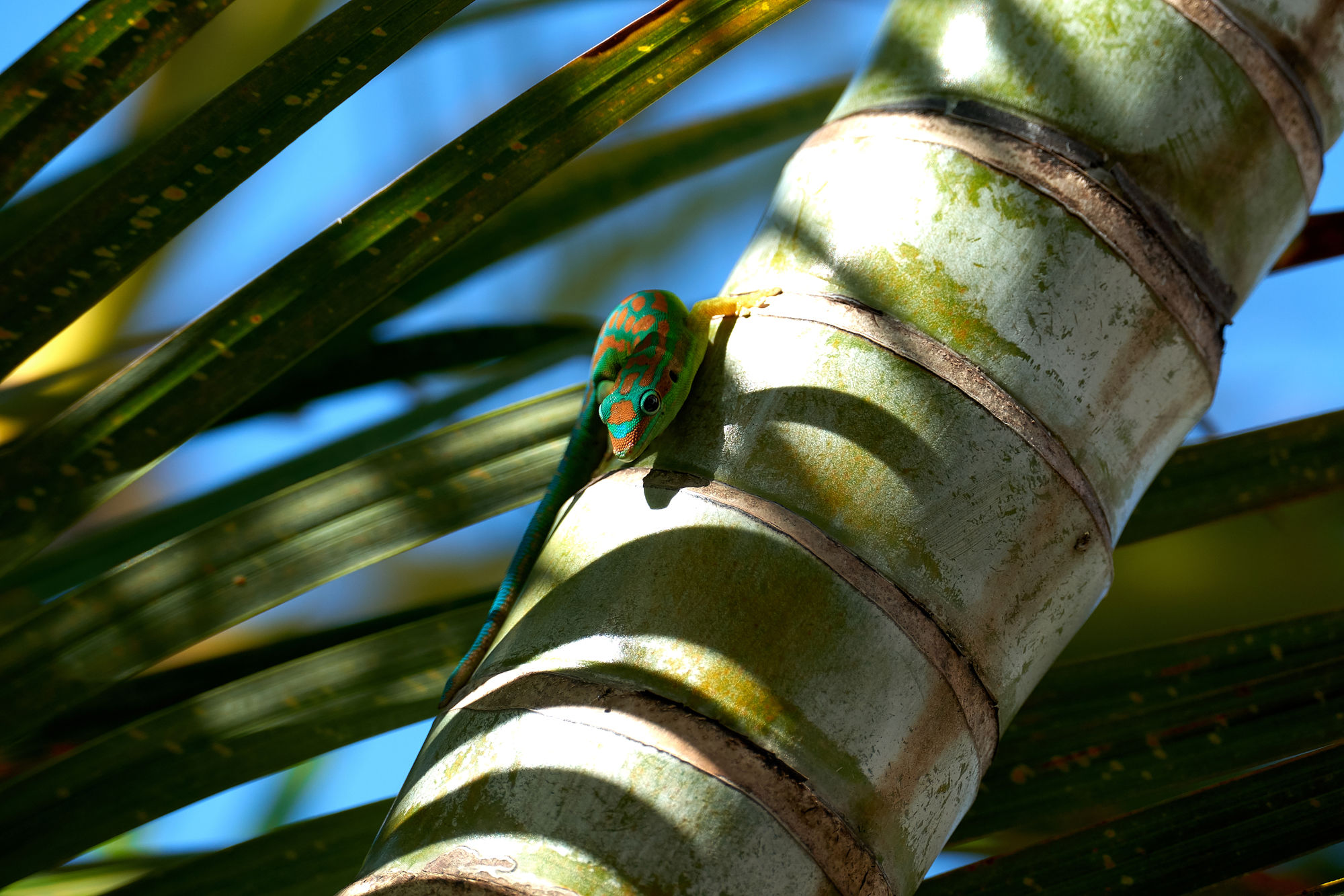 Day Gecko, Mauritius
