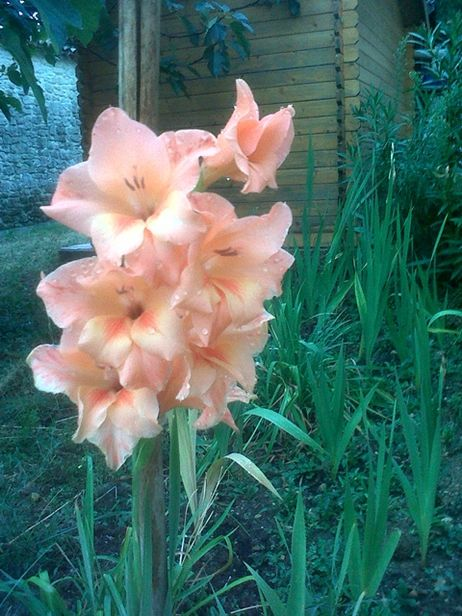 Orange Gladiolus in Provence