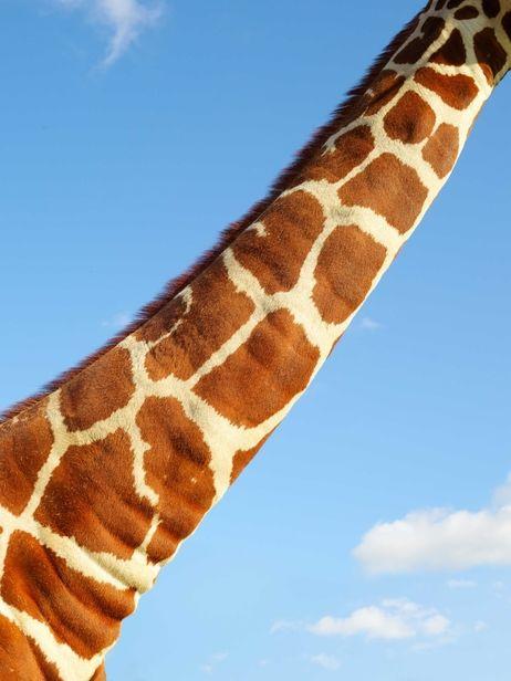 FT Magazine – Giraffes by Dan Burn-Forti c/o MAKING PICTURES