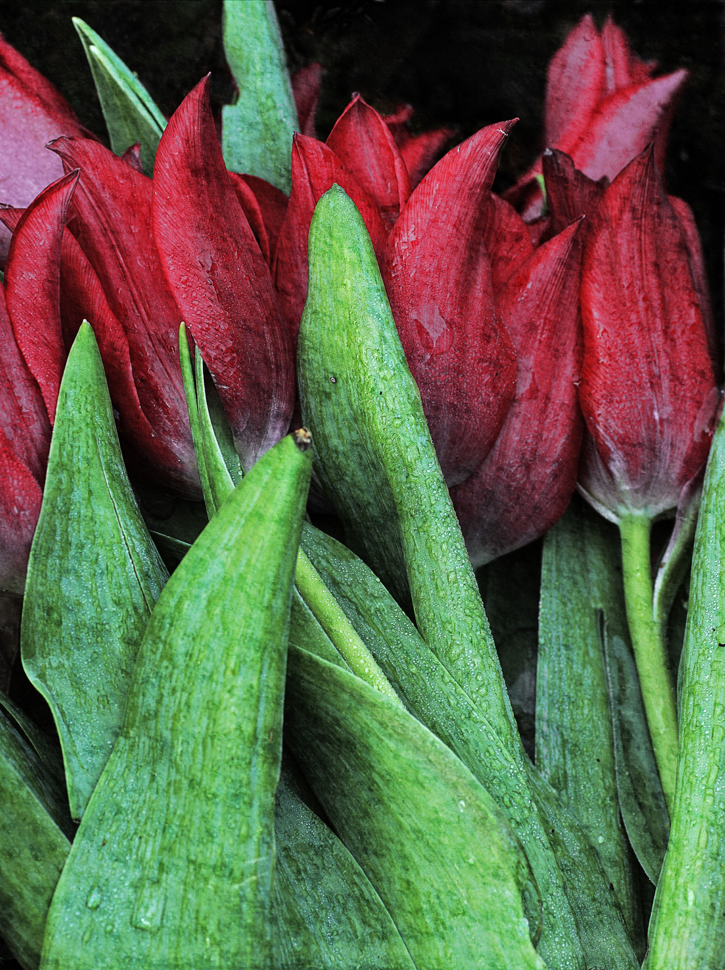 FRAWA Red Tulips
