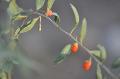 ORGANIC GOJI BERRY TREE FRUITS IN PROVNCE BY SABINE FAURE