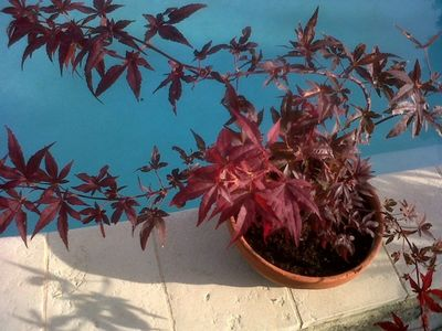 Red Japanese Maple Tree in Provence