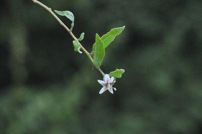 ORGANIC NINGXIA GOJI BERRY TREE FLOWER IN PROVENCE SABINE FAURE