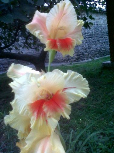 Yellow Gladiolus in Provence