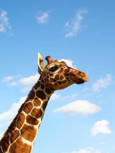 FT Magazine – Giraffes by Dan Burn-Forti c/o MAKING PICTURES
