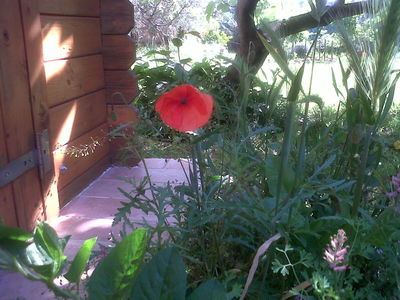 Red Poppy in Provence