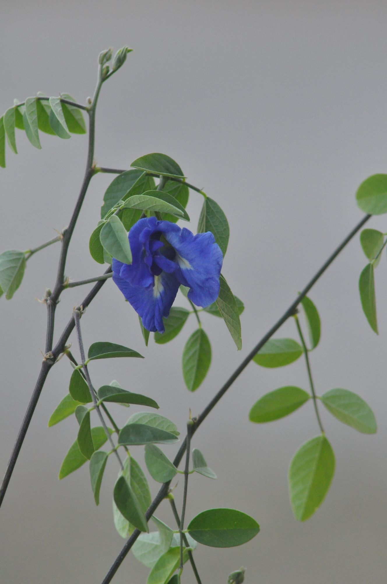 BLUE BUTTERFLY PEA VINE FLOWER FROM THAILAND IN PROVENCE BY SABINE FAURE