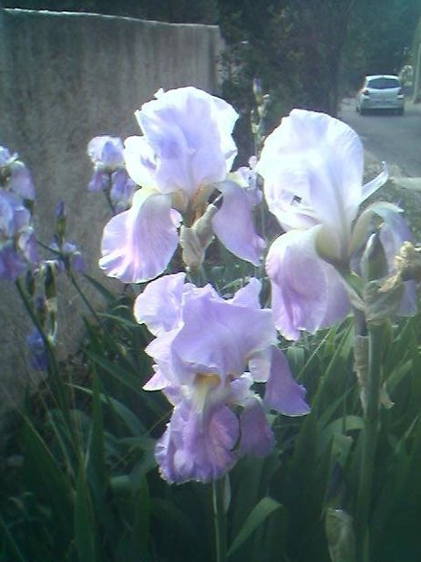 Purple Iris of Provence