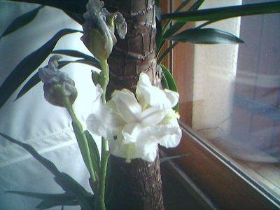 White Iris of Provence
