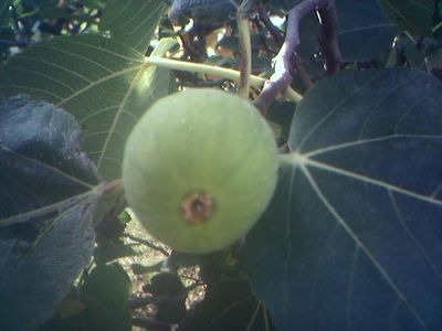 Fig of Provence
