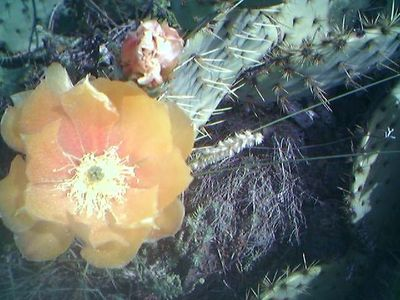 Nopal Flower in Provence