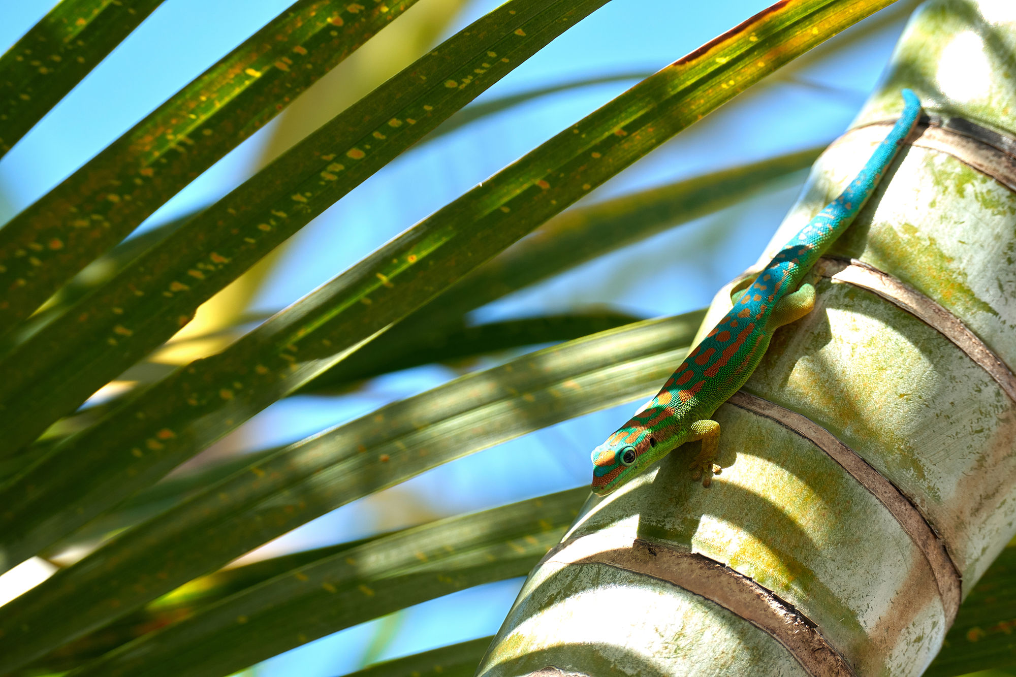 Day Gecko, Mauritius